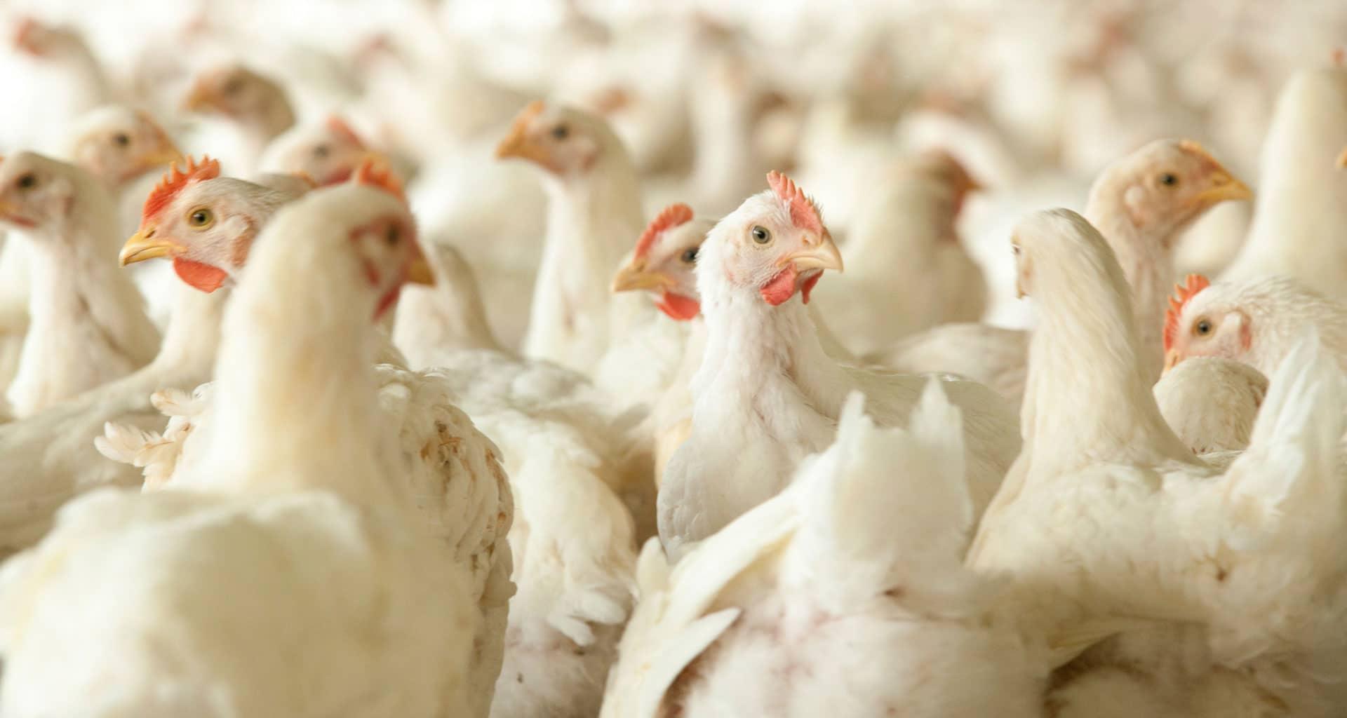 kippen in een keten
